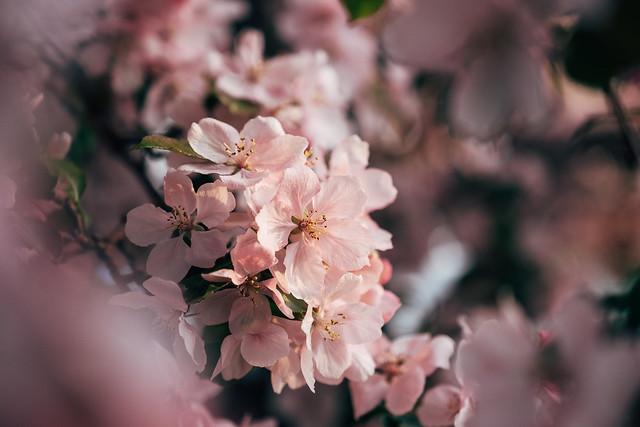 Blossom Season YYC 2019-11