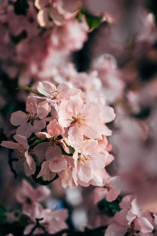 Blossom Season YYC 2019-9