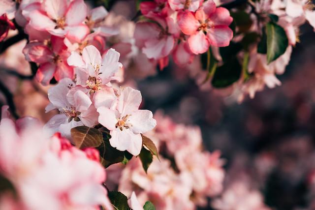 Blossom Season YYC 2019-4