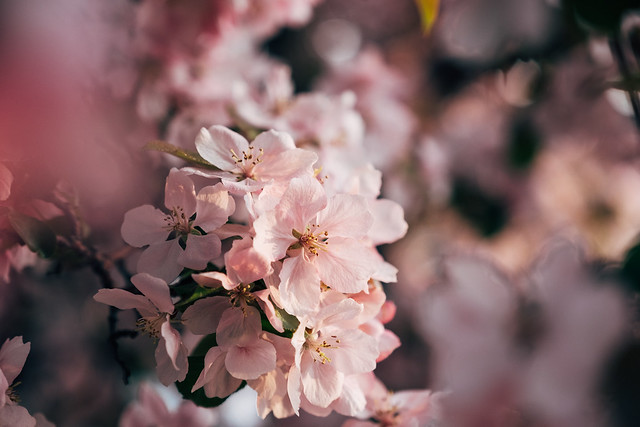 Blossom Season YYC 2019-10