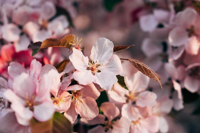 Blossom Season YYC 2019-8