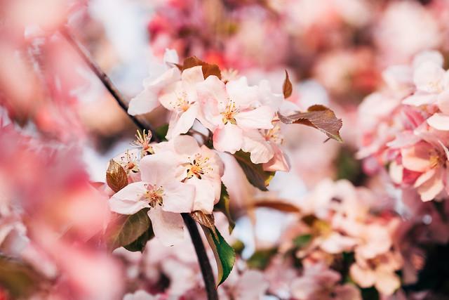 Blossom Season YYC 2019-7