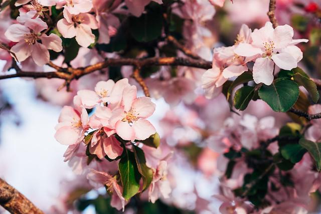 Blossom Season YYC 2019-6