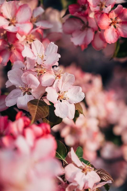 Blossom Season YYC 2019-3