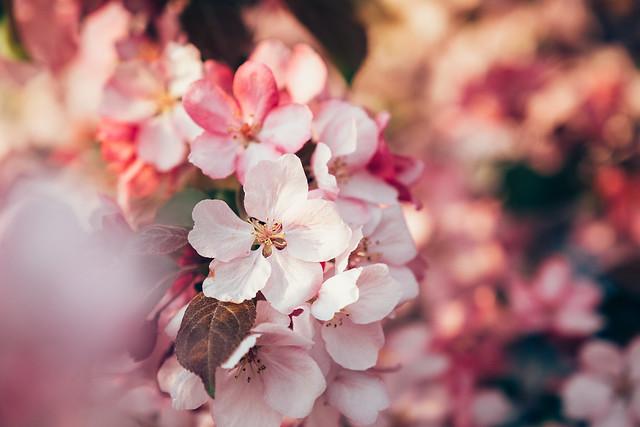 Blossom Season YYC 2019-2