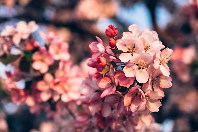 Blossom Season YYC 2019-1