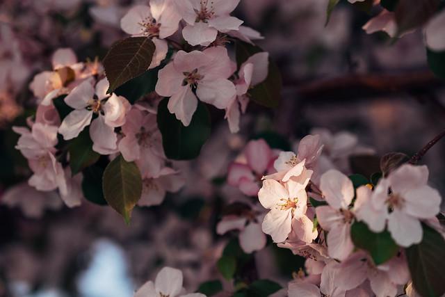 Blossom Season YYC 2019-15