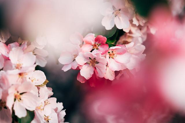 Blossom Season YYC 2019-12