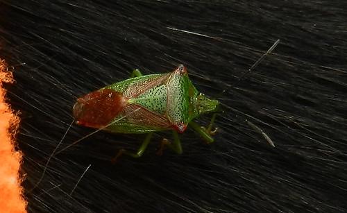 Hawthorn Shieldbug DSCN9627