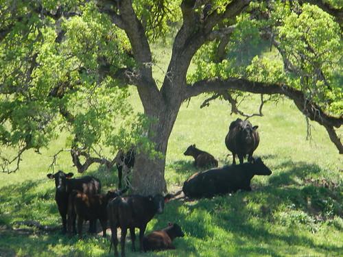 Cows Under Oak Tree