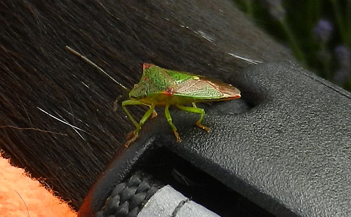 Hawthorn Shieldbug DSCN9628