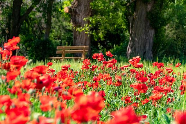 Field of poppies......Campo de Amapolas.........