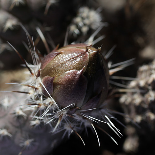 Pterocactus australis | by Umadeave