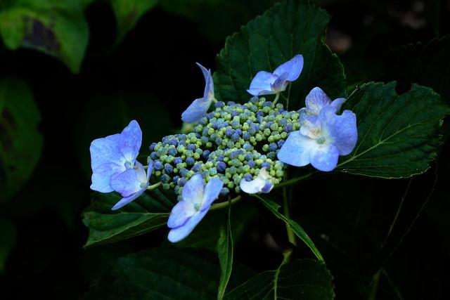 紫陽花の花びらはどこにあるか知っていますか?