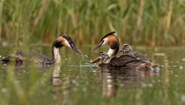grèbe huppe avec ses deux poussins au lac de Creteil - Great Crested Grebe 255A9830