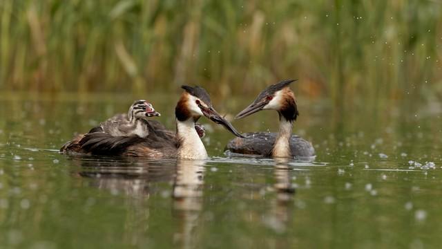 grèbe huppe avec ses deux poussins au lac de Creteil - Great Crested Grebe 255A9842