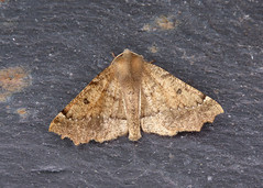 70.240 Scalloped Hazel - Odontopera bidentata