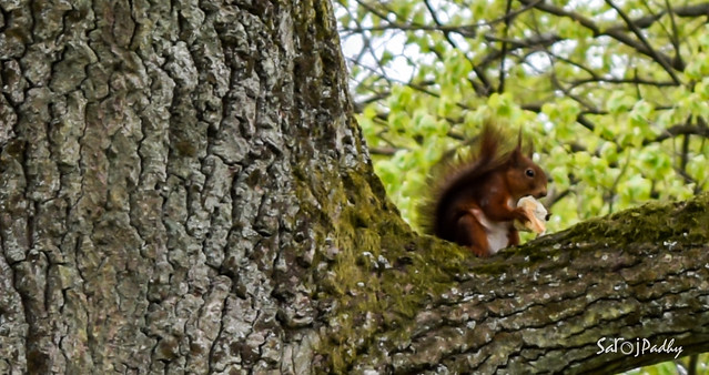Ekorren red squirrel