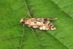 12.016 Cork Moth - Nemapogon cloacella