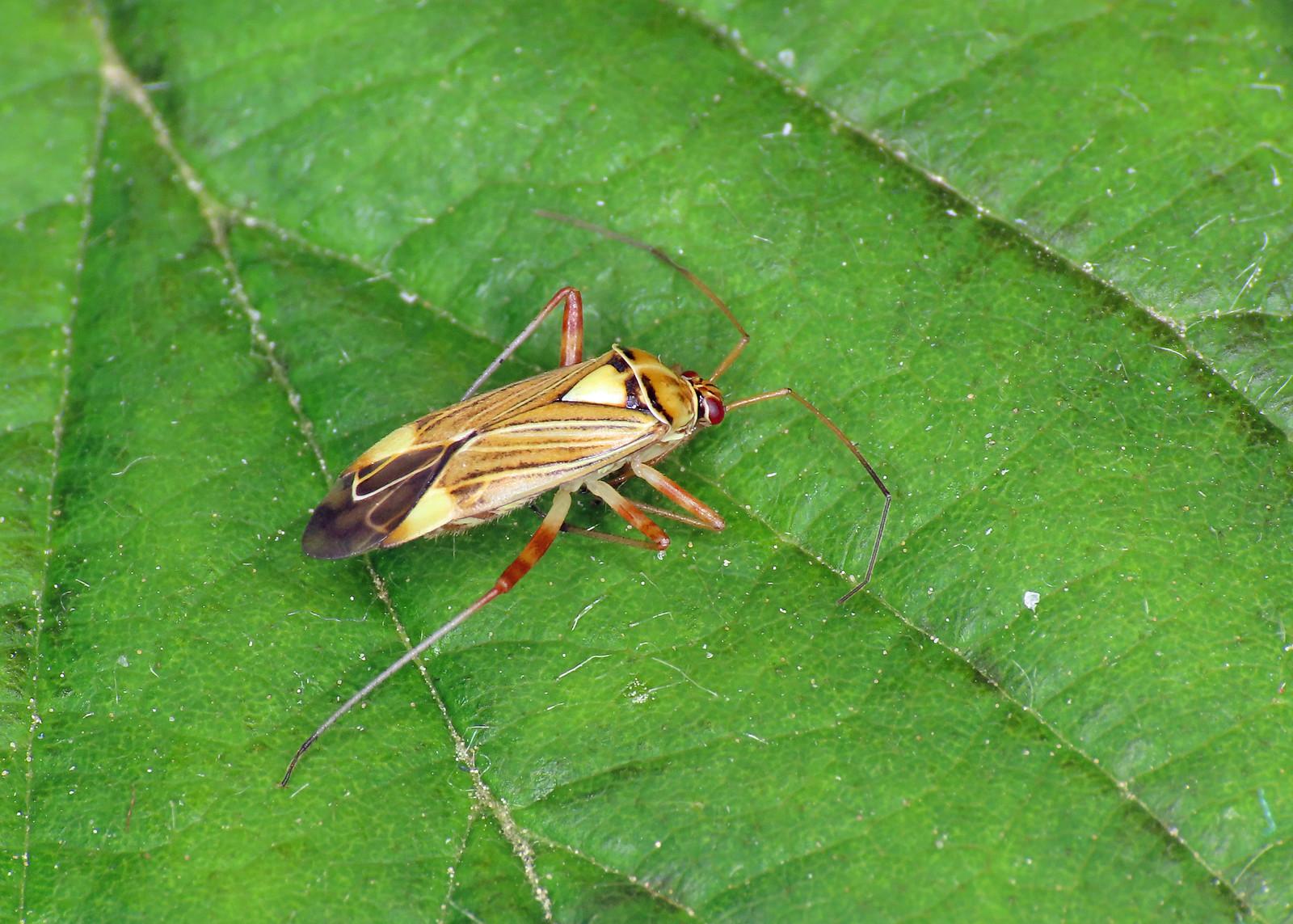 Rhabdomiris striatellus