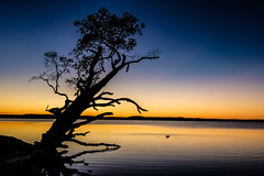 The Weyba Tree - morning twilight