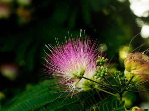 Mimosa stamens