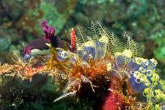 Nembrotha chamberlaini among Hydroids and Sea Squirts