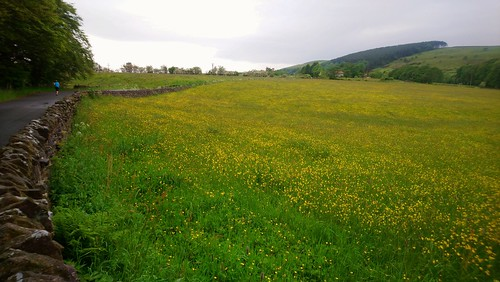 Buttercup meadow on the run