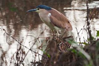 Nankeen Night-Heron | by Duncan McCaskill