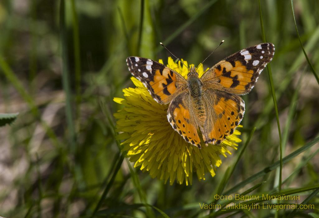 бабочка репейница.