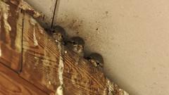 moineau domestique  juvénile lac de Créteil - baby house sparrow 255A0403DxO