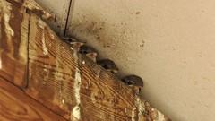 moineau domestique  juvénile lac de Créteil - baby house sparrow 255A0405DxO