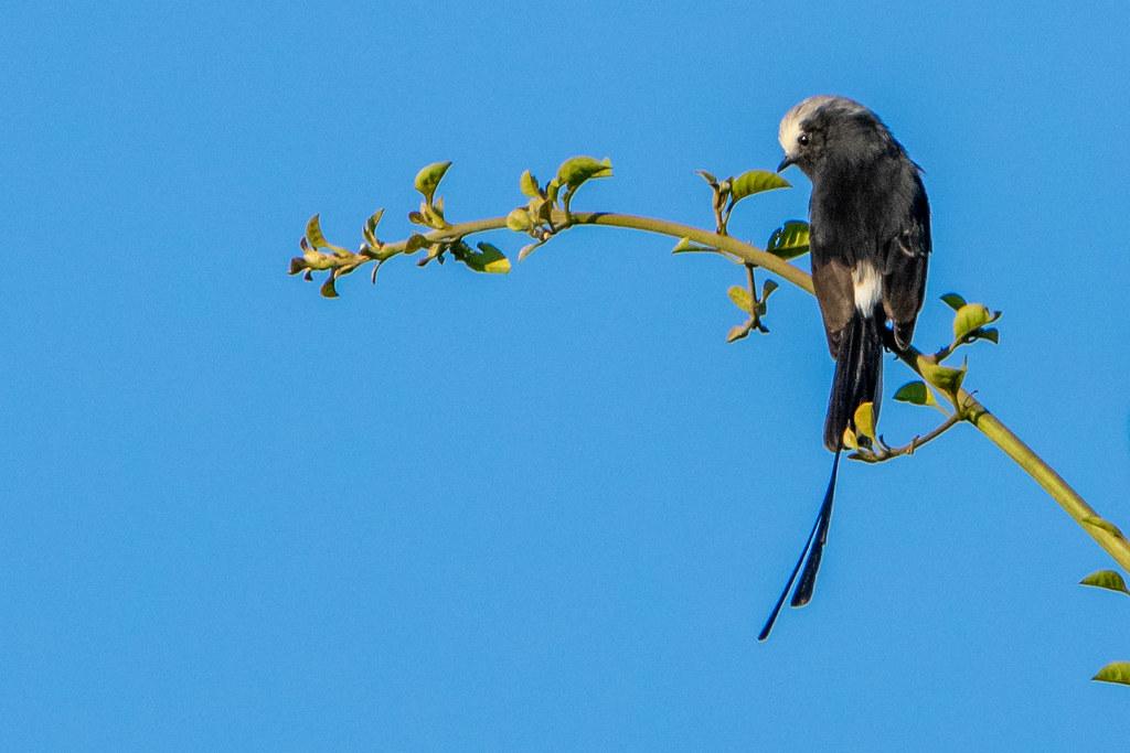 Yetapá negro - Long-tailed tyrant