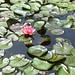 De lelies bloeien in de vijver