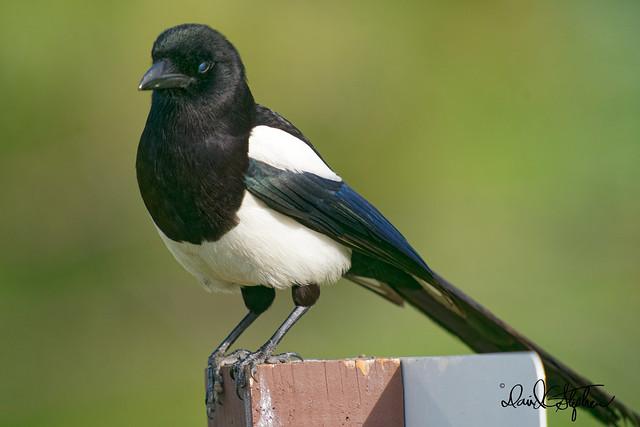 Black-billed Magpie Poses