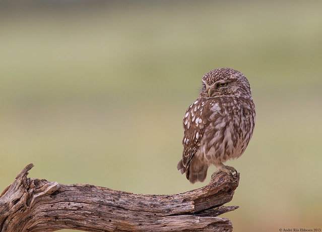 Little Owl, La Mancha, Spain