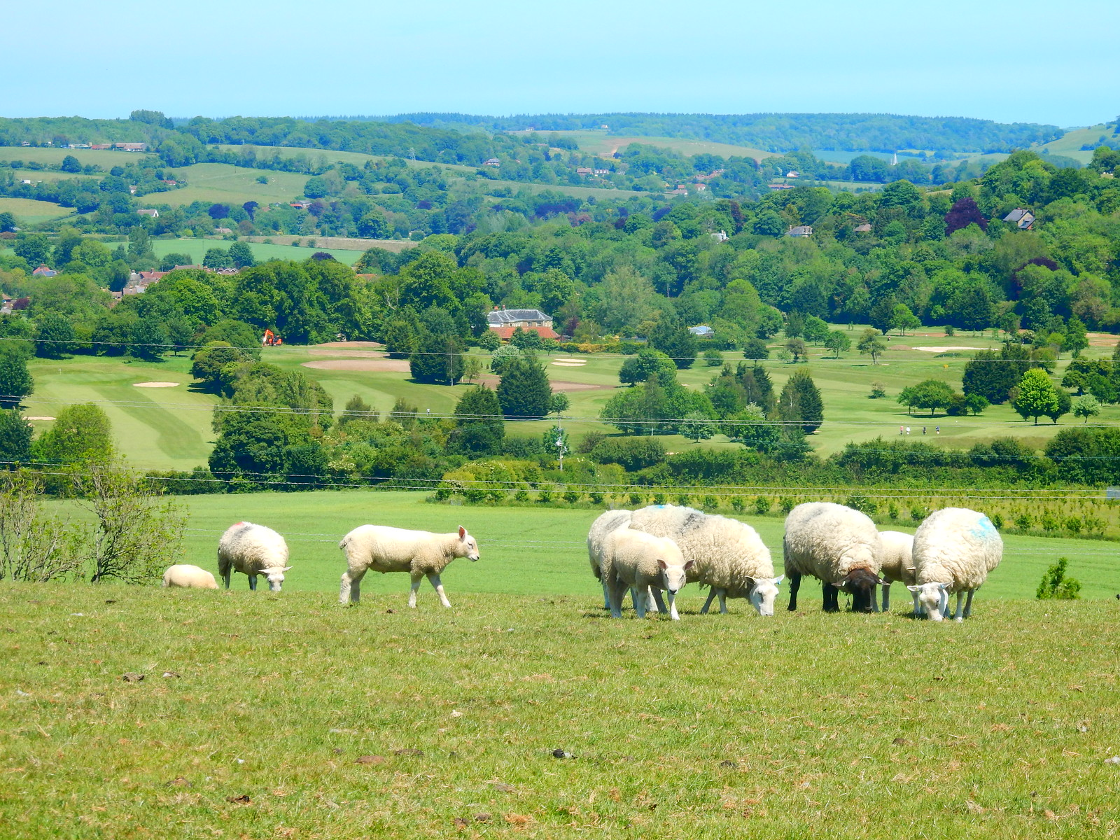 Sheep on the top Sandling to Wye