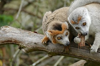 Crowned Lemurs | by RedCat09