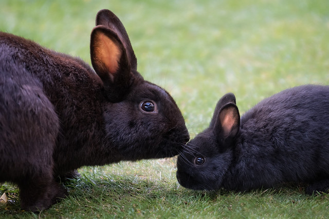 Cannon Beach Rabbits