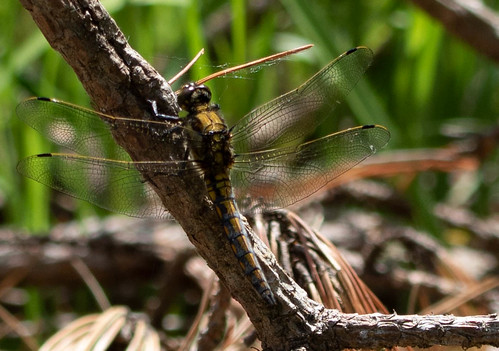Black-Tailed Skimmer (immature male)