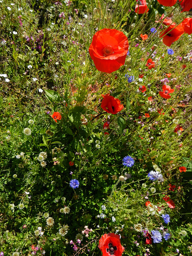Wild poppies and other bright flowers create an array of colour that would inspire many an artist near Giverny in France
