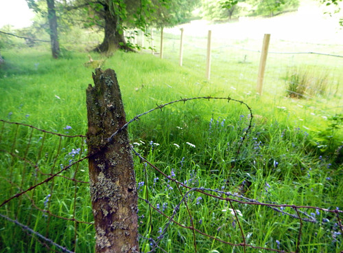 A barbwire fence and bluebells in a meadow on the Precipice Walk in Dongellau, Wales