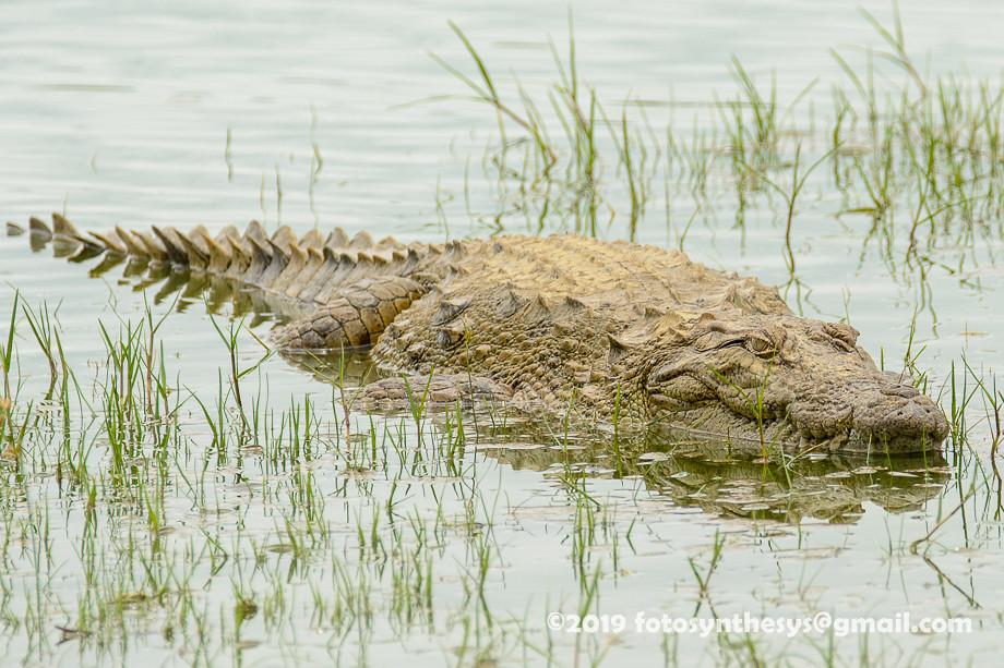 Mugger Crocodile (Crocodylus palustris) DSD_5959