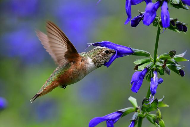 Ellen's hummingbird IMG_6698