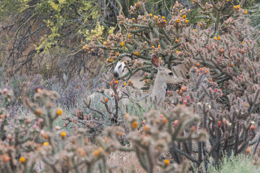 A family of mule deer eat the flowers of buckhorn cholla on the Latigo Trail in McDowell Sonoran Preserve in Scottsdale, Arizona in May 2019