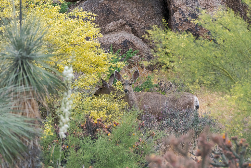 A family of mule deer eat the flowers of a palo verde, the trees blooming alongside soaptree yucca and buckhorn cholla, on the Latigo Trail in McDowell Sonoran Preserve in Scottsdale, Arizona in May 2019