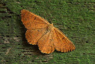 70.230  BF1924 Orange Moth, Angerona prunaria