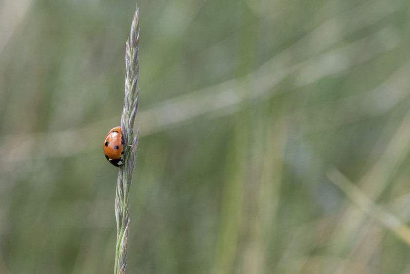 Ladybug on a grass straw