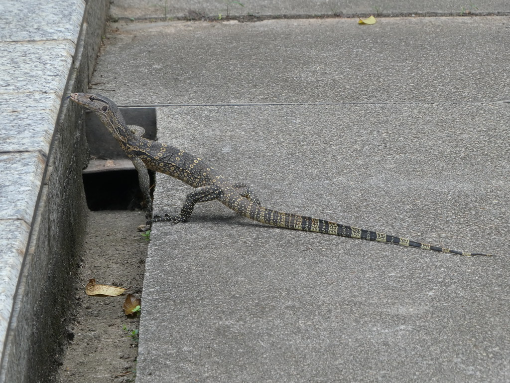 A large lizard crossed our path in Putrajaya