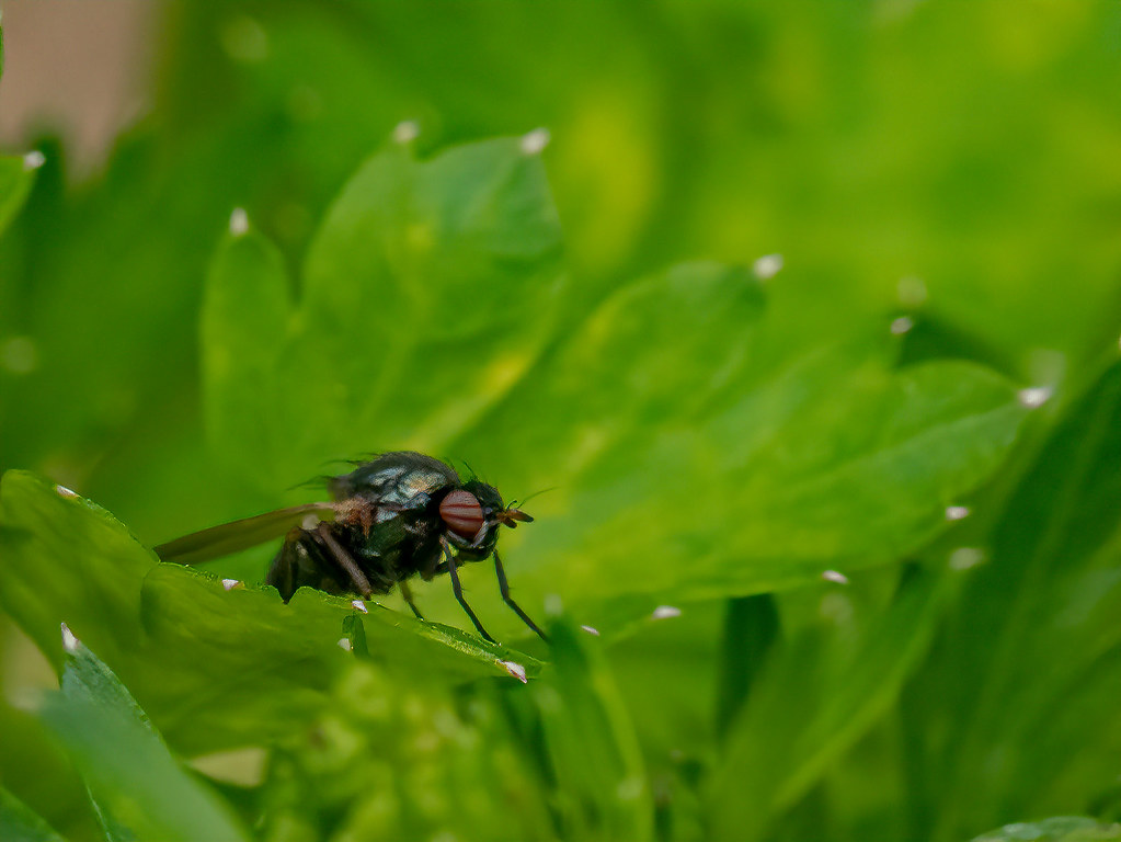 Mini mouche dans le monde vert... 47988681991_2f99e9bd33_b